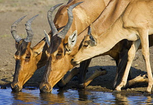 Red hartebeest {Alcelaphus buselaphus / caama} adults and young drinking, Etosha national park, Namibia.  -  Tony Heald