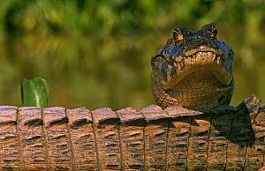 Jacare caiman {Caiman crocodilus yacare} resting head on another's tail, Pantanal, Brazil  -  Pete Oxford
