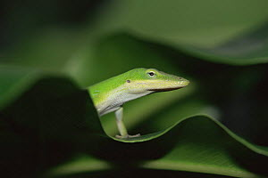 Green anole {Anolis carolinensis} head and shoulders emerging from leaves, SW Florida, USA,  -  Steven David Miller