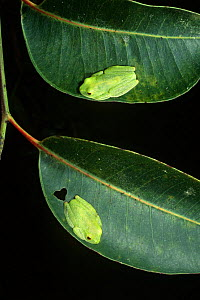 Two Tree frogs on leaves {Boophis sp} Perinet SR, Madagascar  -  Pete Oxford