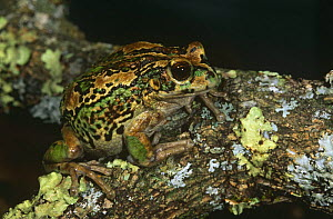 Marsupial frog {Gastrotheca riobambae} camouflaged on lichen covered branch, Andes, Ecuador  -  Pete Oxford