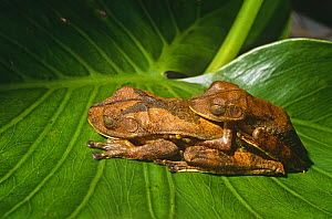 Map tree frogs {Hyla geographica} in amplexus, Yasuni NP, Ecuador - Pete Oxford
