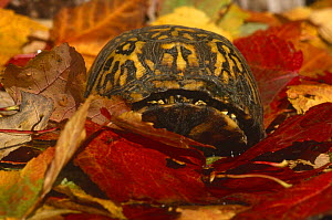 Eastern box turtle {Terrapene carolina carolina} captive, from USA  -  Lynn M Stone