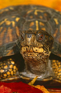 Eastern box turtle {Terrapene carolina carolina} portrait, captive, from USA  -  Lynn M Stone
