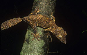 """Leaf tailed gecko foraging at night, an undescribed species, currently known as (Uroplatus. aff. sikorae or """"Diego"""" henkeli) Ankarana SR, Madagascar  -  Nick Garbutt"""