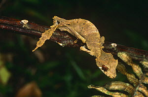Leaf tailed gecko {Uroplatus sp} foraging at night, Montagne D'Ambre NP, Madagascar  -  Nick Garbutt
