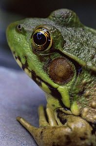 Green frog {Rana clamitans} head close up, Wisconsin, USA  -  Larry Michael