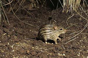 Striped grass mouse {Lemniscomys barbarus} captive, from North and Central Africa - Rod Williams