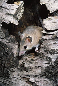 Egyptian spiny mouse {Acomys cahirinus} captive, from North Africa and SW Asia  -  Rod Williams