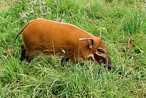 Red river hog {Potamochoerus porcus} juvenile female, captive from West and Central Africa  -  Rod Williams