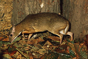 Lesser Malay mousedeer {Tragulus javanicus} female, captive, from SE Asia - Rod Williams