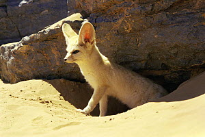 Fennec fox {Fennecus zerda} emerging from den in sand dune, Sahara desert, Morocco 1997  -  James Aldred