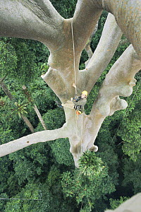 Looking down from rainforest canopy on scientist climbing a giant Mengaris tree {Koompassia excelsa} Danum valley, Sabah, Borneo, Malaysia, 2002  -  James Aldred
