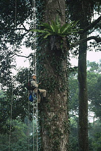 Canopy scientist, John Pike, being winched up to study epiphytic Birds nest fern {Asplenius sp} growing in lowland Dipterocarp tree {Shorea shorea} Danum valley, Sabah, Borneo, Malaysia, 2005  -  James Aldred