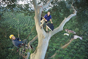 Bill Hatcher and Tom Greenwood climbing a giant Mengaris tree {Koompassia excelsa} during National Geographic Society expedition to find world's tallest tropical tree, Oil palm {Elaeis sp} plantations...  -  James Aldred