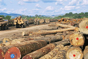 Logged rainforest timber from Okoume trees {Aucoumea klaineana Pierre} logs awaiting collection by train at Lope Reserve NP, Gabon, 2004  -  James Aldred