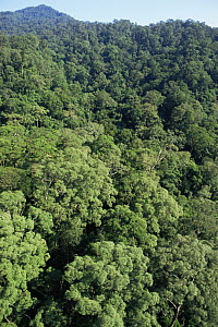 Aerial view of canopy of primary lowland Dipterocarp rainforest, Imbak Canyon Reserve, Sabah, Borneo, Malaysia, 2005  -  James Aldred
