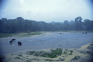 African forest elephants {Loxodonta cyclotis} in rainforest clearing flooded with rainwater, Dzanga-Sanga Bai, Bayanga, Central African Republic, 2003  -  James Aldred