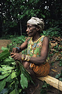 By'Aka pygmy woman collecting medicinal plants from the rainforest, Ndoki-Nouabale NP, Congo Rep. 2003  -  James Aldred