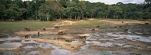 Herd of African forest elephants {Loxodonta cyclotis} feeding on mineral rich water in rainforest clearing, Dzanga-Sanga Bai, Bayanga, Central African Republic, 2006  -  James Aldred