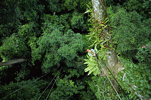 Huw Cordey, producer of Jungles episode, BBC Planet Earth series, in canopy of rainforest tree, Costa Rica, 2005.  -  Huw Cordey
