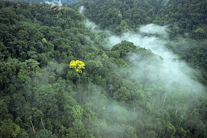 Aerial view of tropical rainforest canopy with mist and yellow flowering tree (Tabebuia sp), Corcovado NP, Costa Rica. Filmed for BBC Planet Earth series.  -  Huw Cordey