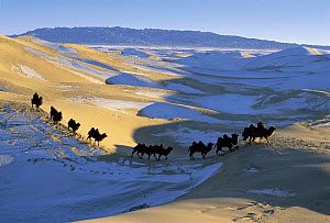 Domesticated Bactrian camels (Camelus bactrianus) walking across Gobi Desert, Mongolia, January 2004. From BBC Planet Earth Series. - Huw Cordey