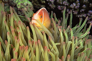 Pink anemonefish {Amphiprion perideraion} amongst host sea anemone tentacles, Great Barrier Reef, Queensland, Australia  -  Doug Perrine