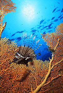 Lionfish {Pterois miles} with Seafan in foreground, Thailand - Doug Perrine