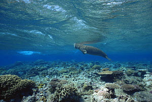 Dugong / Sea cow {Dugong dugong} breathing at water surface, Indo pacific - Doug Perrine