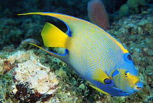 Queen angelfish {Holacanthus ciliaris} Grand Bahama, Bahamas  -  Doug Perrine