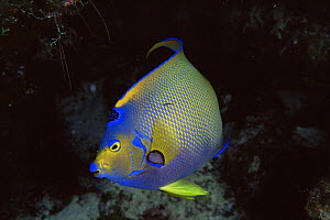 Queen angelfish {Holacanthus ciliaris} Turks and Caicos Islands, Caribbean  -  Doug Perrine