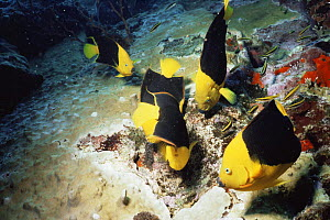 Rock beauties {Holacanthus tricolor} feeding on eggs of Sergeant major fish in coral, Saba, Netherlands Antilles, Caribbean  -  Doug Perrine