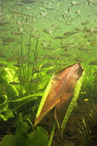 Young Bream (Abramis brama) above young leaf of Yellow water lily, Lake Naarden, Holland  -  Willem Kolvoort