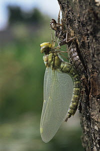Dragonfly (Aeshna genus) newly emerged from larval case, pumping and drying wings, Holland  -  Willem Kolvoort