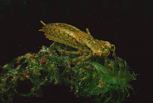 Dragonfly larva (Aeshna genus) on Canadian waterweed, red water mites nearby, sand-winning pit, Holland  -  Willem Kolvoort