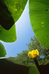 Abstract underwater view of Yellow water lily (Nuphar lutea) Lake Naarden, Holland  -  Willem Kolvoort
