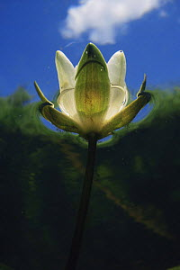 Abstract underwater view of flowering White water lily (Nymphaea alba) Holland  -  Willem Kolvoort