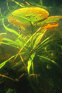 Underwater view of Water soldier (Stratiotes aloides) and White water lily (Nymphaea alba) Holland  -  Willem Kolvoort