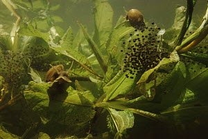 Great pond snails (Lymnaea stagnalis) with European edible frog spawn (Rana esculenta) Holland  -  Willem Kolvoort