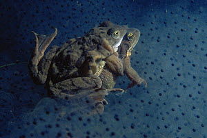 Common frogs (Rana temporaria) mating amongst frogspawn, Holland  -  Willem Kolvoort