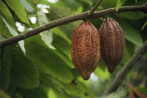Cocoa fruit (Theobroma cacao) the white beans sit inside the hanging fruit, Suriname . 2003. - Willem Kolvoort