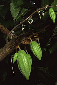 Young Cocoa fruits and flowers (Theobroma cacao) Cuba 1993. - Willem Kolvoort