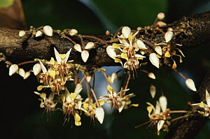 Cocoa plant in flower (Theobroma cacao) Cuba 1993.  -  Willem Kolvoort