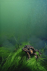 Common frogs (Rana temporaria) mating at bottom of pond, frogspawn behind, Holland  -  Willem Kolvoort
