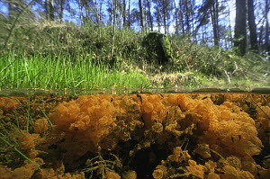 Split level view of Common frogspawn (Rana temporaria) covered in red sediment from iron hydroxide in the brook, Holland  -  Willem Kolvoort