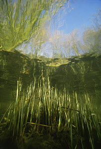 Underwater view of Sedge (Carex sp) growing up to surface, sand-winning pit, Holland  -  Willem Kolvoort
