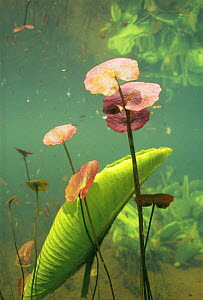 Underwater view of Fringed water lily (Nymphoides peltata) colour of leaves in spring is red, Lake Naarden, Holland  -  Willem Kolvoort