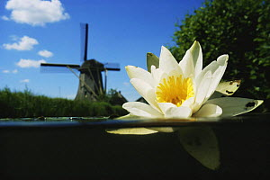 Split level view of White water lily (Nymphaea alba) flowering at surface with windmill behind, Lake Naarden, Holland  -  Willem Kolvoort