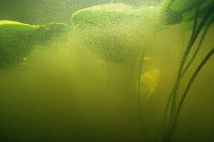Underwater mass of Water fleas (Daphnia sp) under Yellow water lily leaves (Nuphar lutea) lake in central Holland  -  Willem Kolvoort